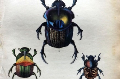 19th February 2020. Jardine Beetle Prints
